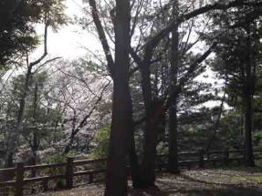 cherry trees in Suwada Park