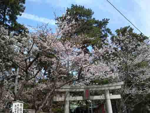cherry blossoms over the torii gate