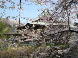 cherry blossoms in Tekona Reishindo Hall