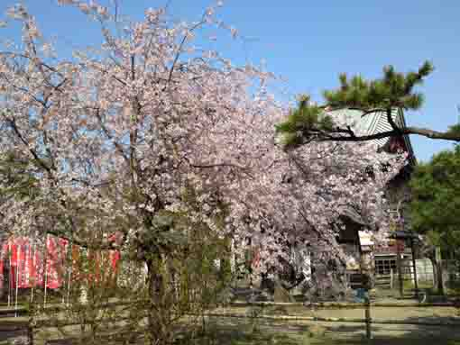 a weeping cherry tree and Tekona Reishindo