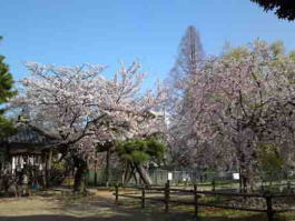 Cherry blossoms in Tekona