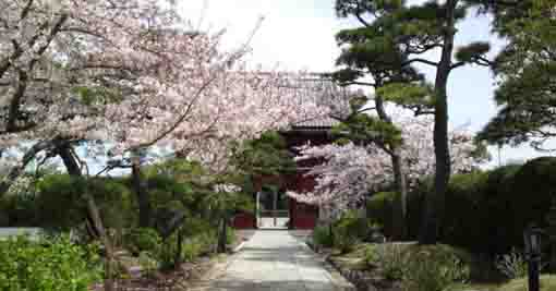 Cherry trees in Tokuganji Temple