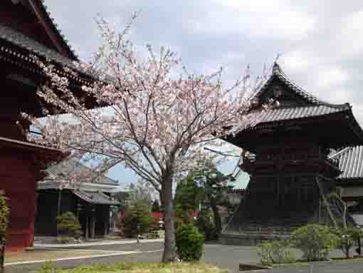 cherry blossoms in Tokuganji Temple