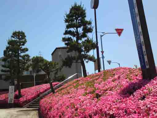 azaleas blooming in Tasumishinbashi park