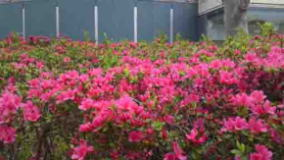 Azeleas in front of the museum