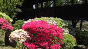 Azalea blossoms in front of the Ugajin-do