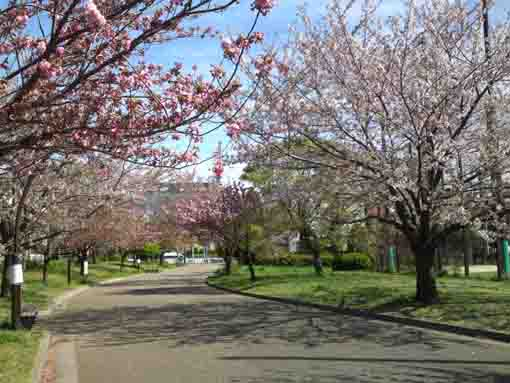 two kinds of cherry blossoms in Ukita Park