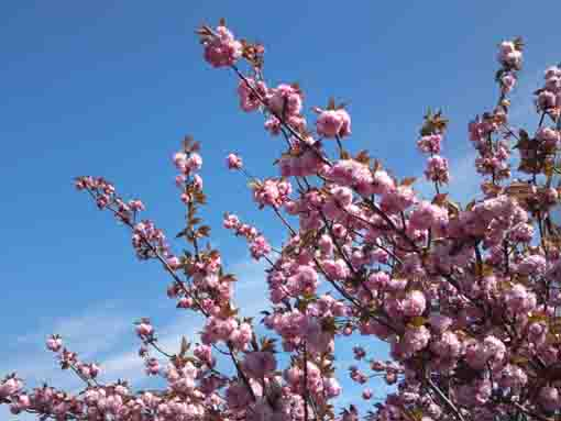 cherry blosssoms in the blue sky