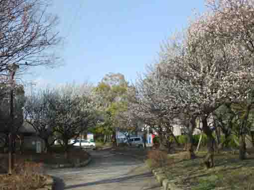 the plum garden in Ukita Higashi Koen