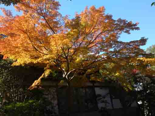 yellow leaves in the blue sky in Daiunji
