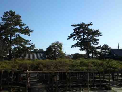 the largest pine tree in Japan